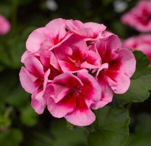 Pelargonium Calliope Rose Splash