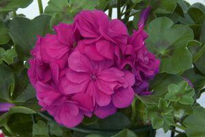 Pelargonium Royal Blue