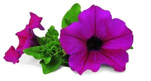 Petunia Surfinia Shihi Purple