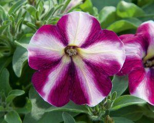 Petunia Swirl Raspberry
