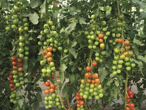 Cherry-Tomate Favorita