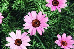 rosa Margerite
