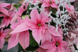 Ein Weihnachtsstern in rosa, festlich geschmückt.