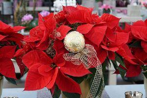 Roter, adventlich dekorierter Weihnachtsstern.
