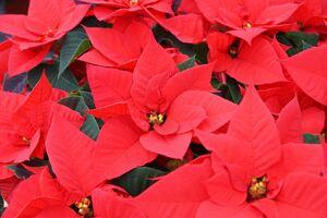 Die beliebten roten Weihnachtssterne.