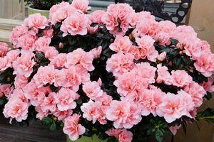 Zimmerazaleen in rosa-weiss