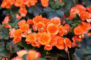 Zimmerbegonien im leuchtenden Orange.
