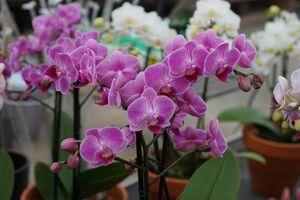 Kleinblumige Phalaenopsis mit geaderten, violetten Blüten
