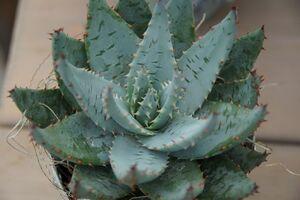 Die echte Aloe kann auch als Heilpflanze genutzt werden.