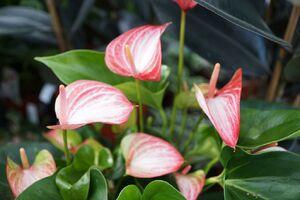 Flamingoblume rosa-weiss.