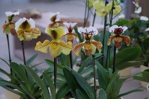 Frauenschuh Orchideen mit schmalen, eleganten Blüten.