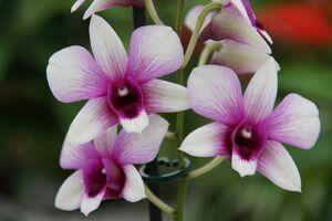 Dendrobium im hellrosa, violett.