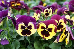 Stiefmütterchen gelb-violett.