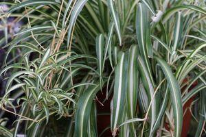 Grünlilie mit panaschierten Blättern.
