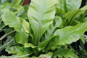 Der Nestfarn mit dekorativen Blättern.