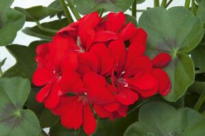 Royal Scarlet, rot, halbhängend, gefüllt blühend