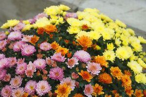 kleinblumige Chrysantheme