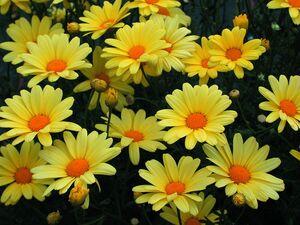 Argyranthemum-Margrite
