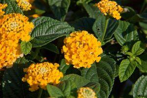 Wandelröschen - Lantana in gelb